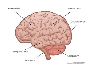 Human Brain Labeled
