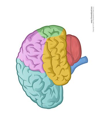 Brain Diagram - Blank - Color - Tim's Printables