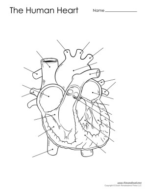 Human Heart Diagram  Unlabeled  Tim's Printables