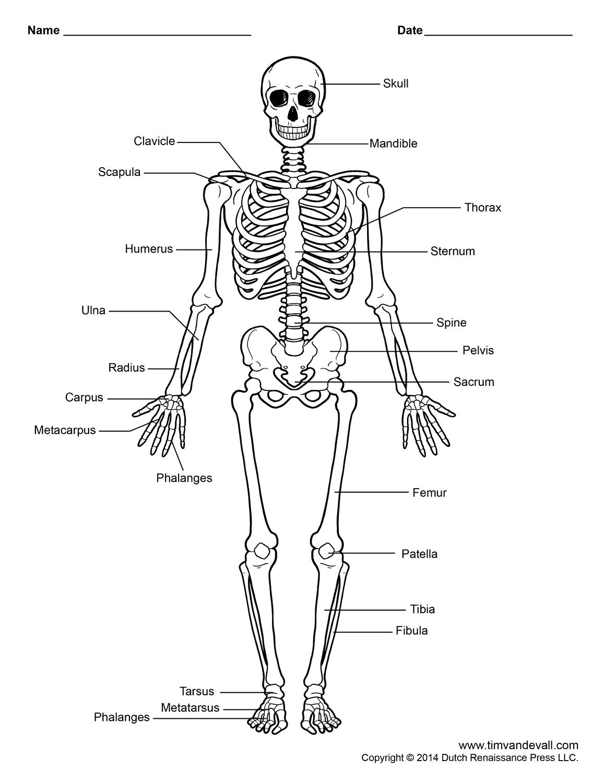 Free Printable Human Skeleton Worksheet For Students And Teachers
