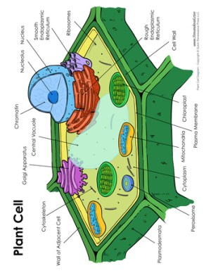 Plant Cell Diagram  Tim's Printables