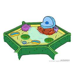 Printable Plant Cell Diagram - Labeled, Unlabeled, and Blank