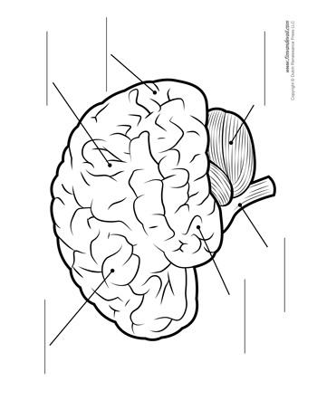 Brain Diagram - Unlabeled - BW - Tim's Printables