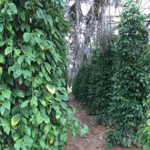 kampot-peperplantage-3