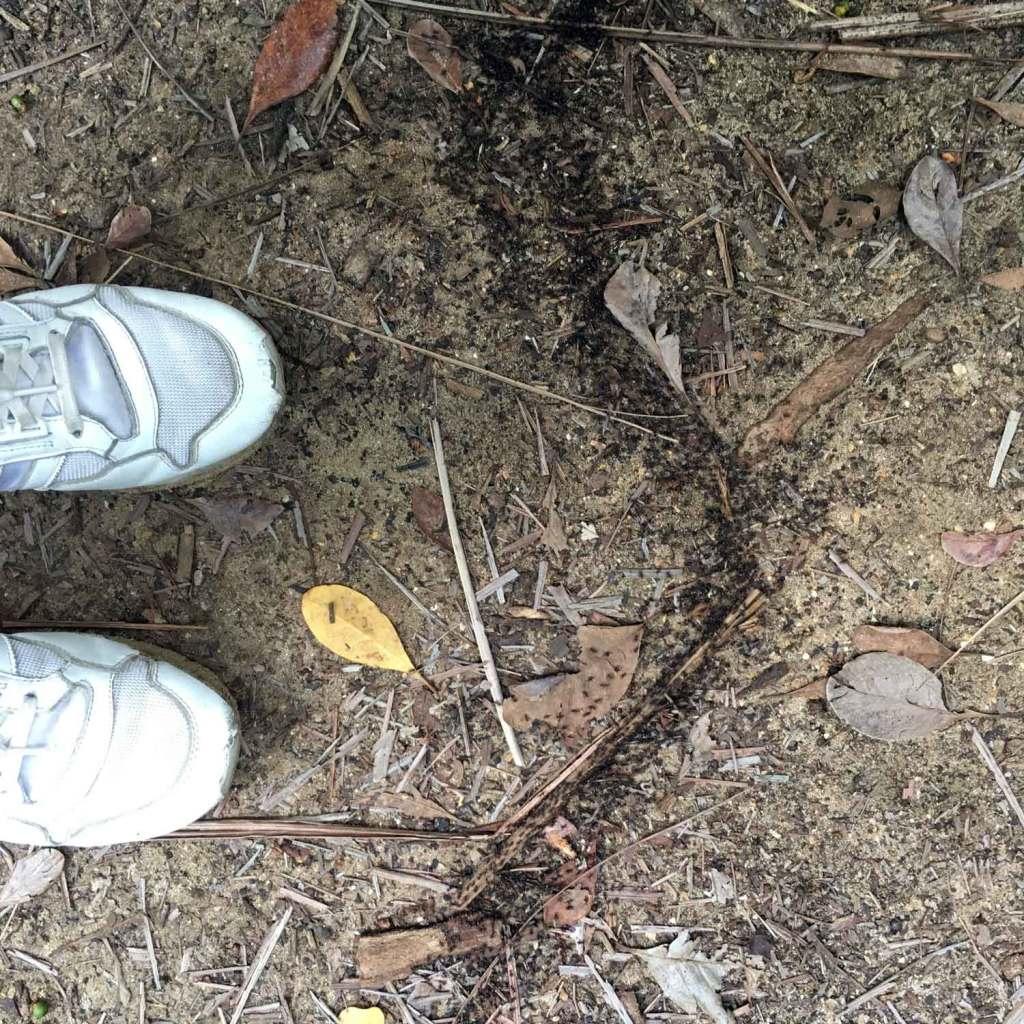Kuching-Bako-Ants
