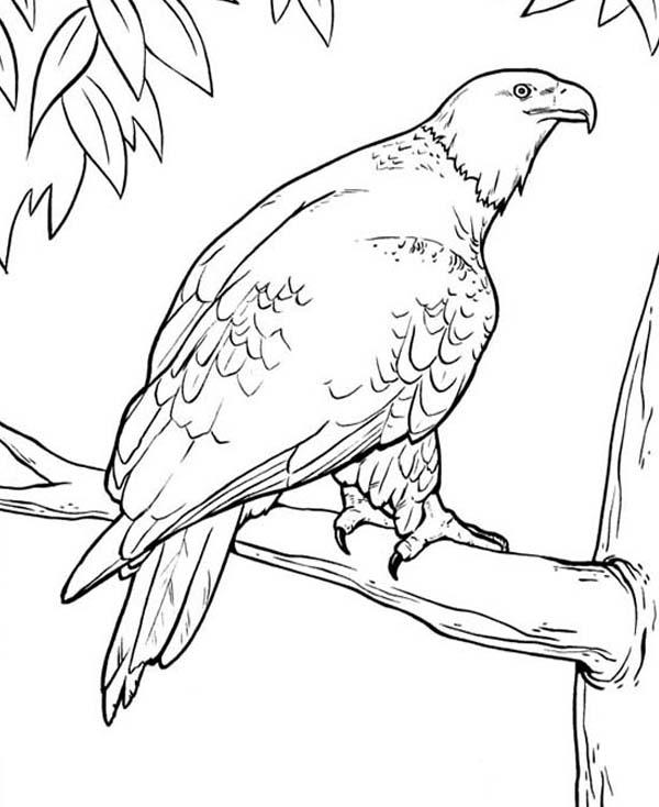 Bald Eagle Color Pages