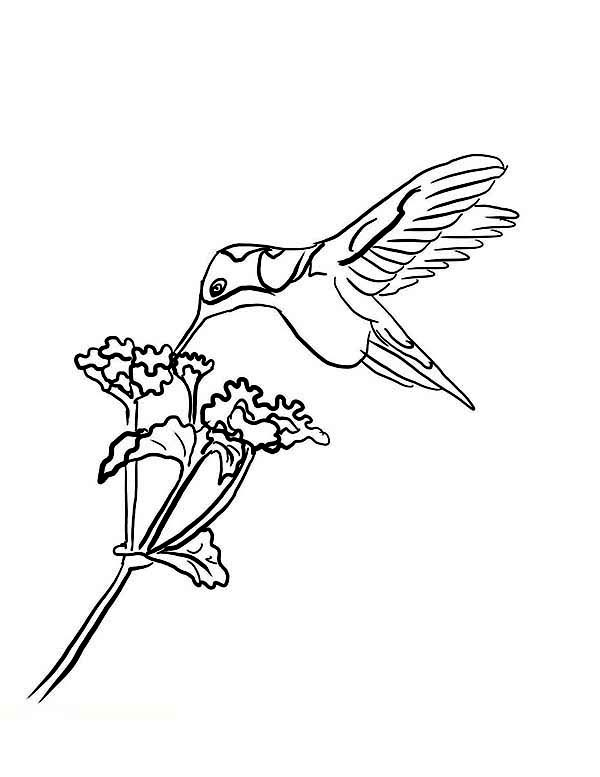 Hummingbird Coloring Pictures