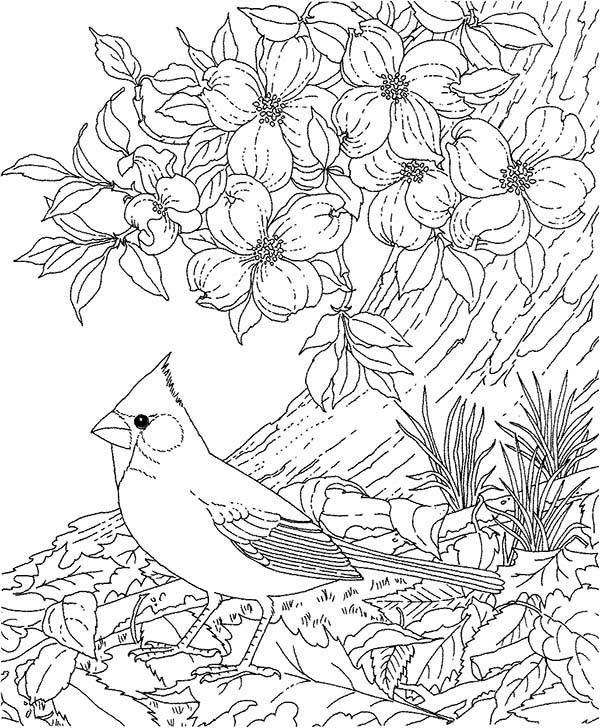 Northern Cardinal Coloring Page