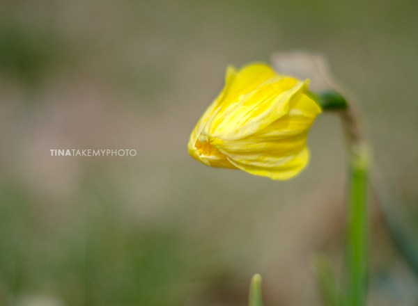 Spring-Daffodil-Virginia-Tina-Take-My-Photo-1