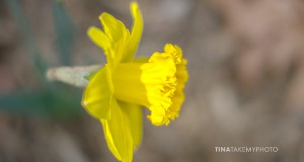 Spring Daffodils Bloom in Virginia