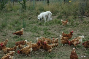 Maremma 'Ghost' and chicken flock