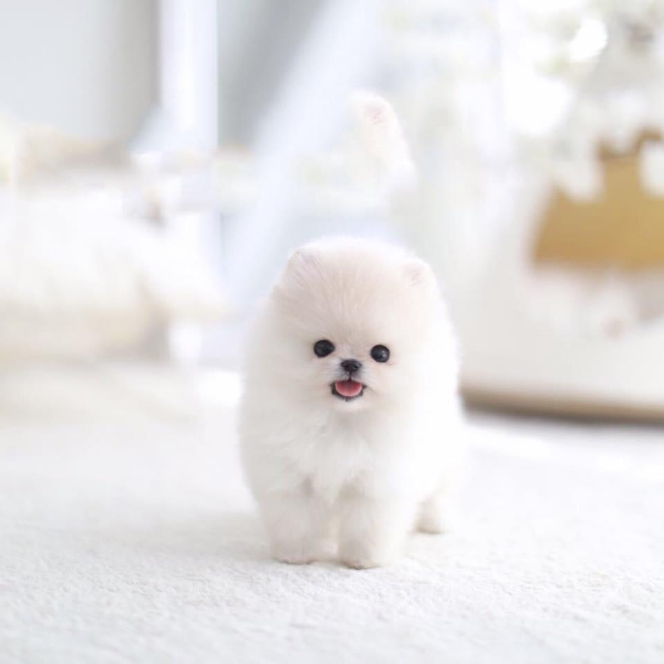 Jasmine Tiny Teacup Pomeranian Tiny Teacup Pups