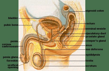 Duktus ejakulatoryus