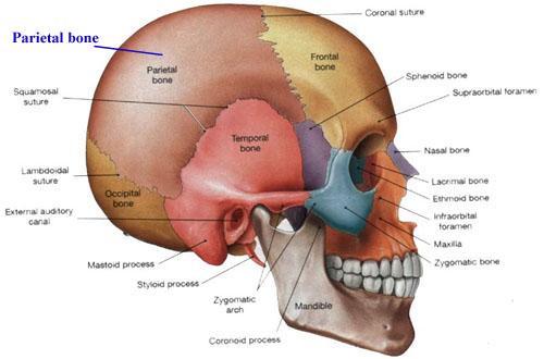 parietal kemik os parietale anatomi