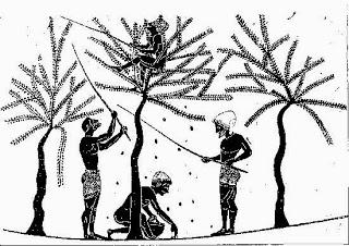 storia ulivo particolare raccolta olive