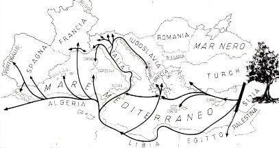 storia olivo piantina diffusione ulivi nel mediterraneo