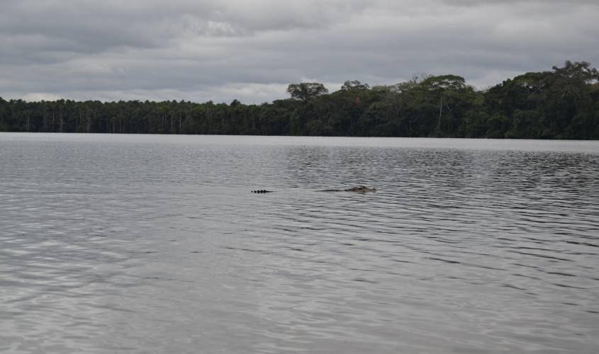 Caimano a nuoto nel Lago Sandoval all'interno della Foresta Amazzonica in Perù