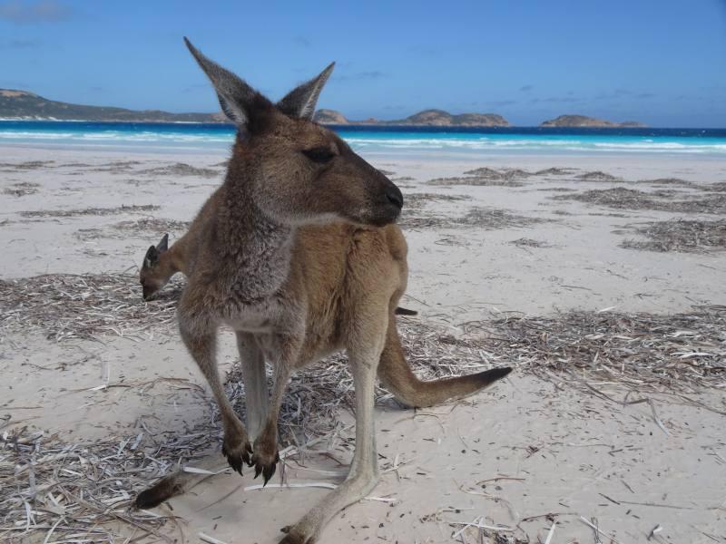 Canguri in spiaggia a Lucky Bay a Esperance in Western Australia