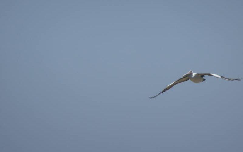 Pellicano in volo su Penguin Island