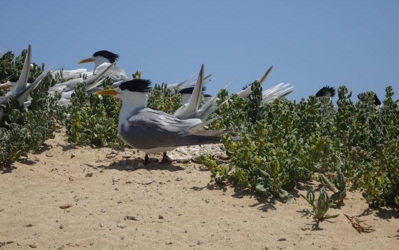 I beccapesci, gli uccelli cresta di Penguin Island