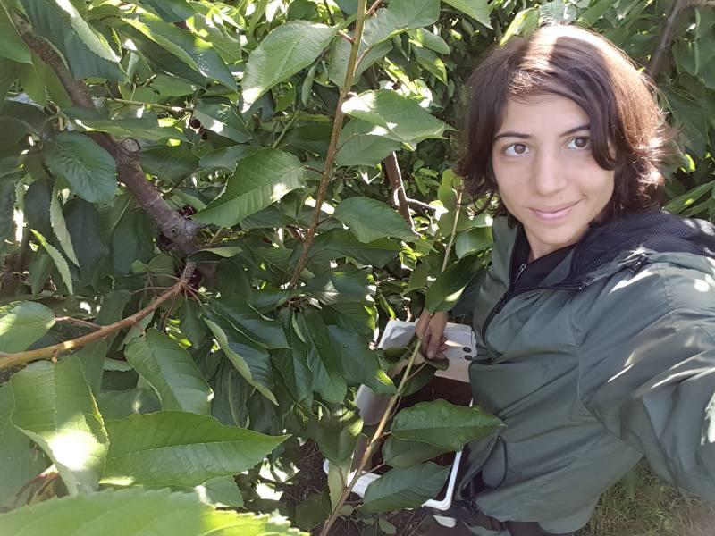 Raccolta ciliegie in Tasmania per gli 88 giorni di Farm australiani