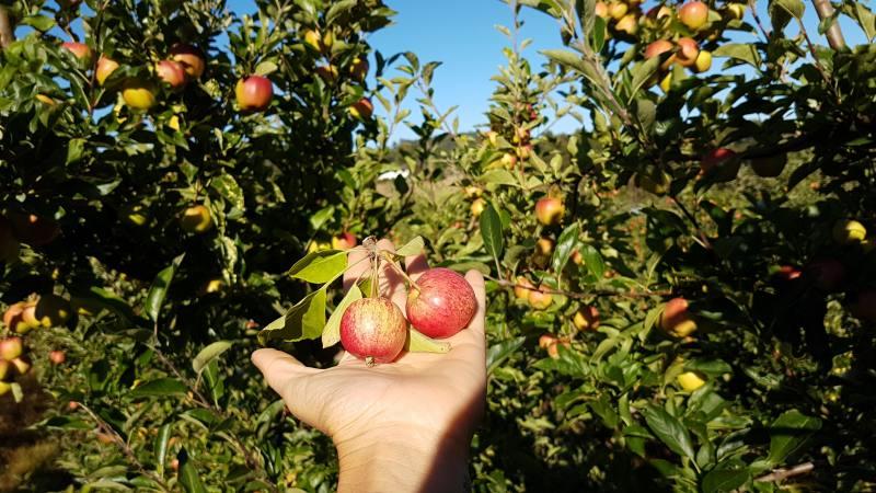 """88 giorni di Farm australiana facendo il """"Thinning"""" delle mele in Tasmania"""