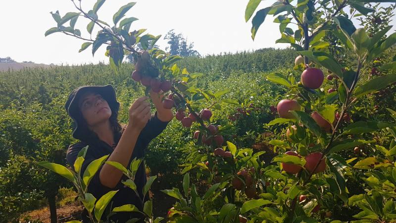 """""""Thinning"""" mele in Tasmania per gli 88 giorni di Farm australiani"""