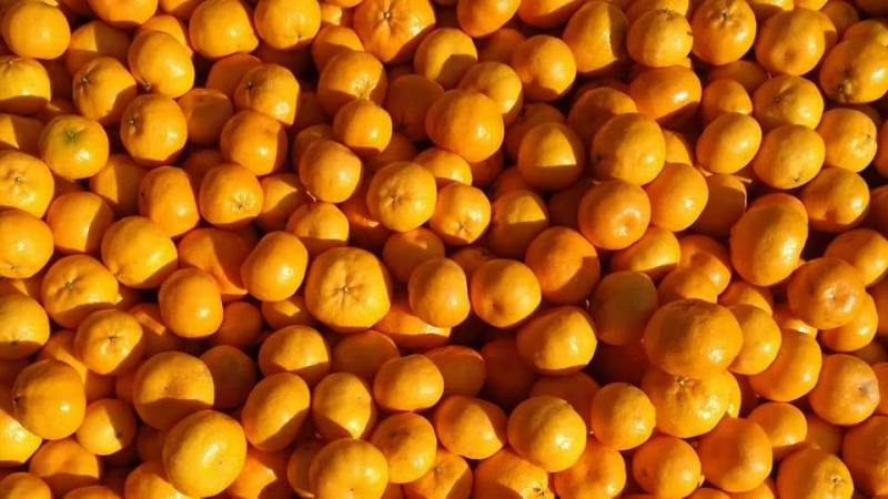 Bin pieno di mandarini per gli 88 giorni di Farm australiani