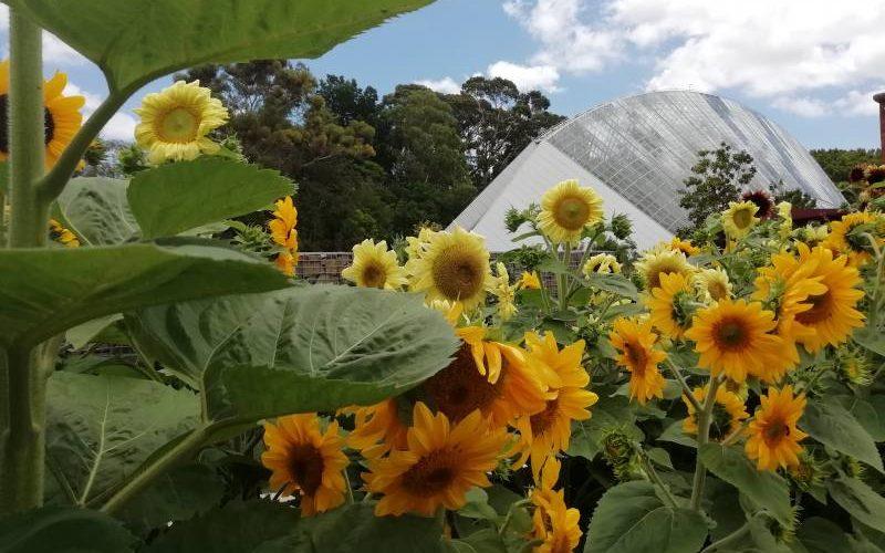 """Campo di girasoli con vista """"Bicentennial Conservatory"""" dentro il giardino botanico di Adelaide"""