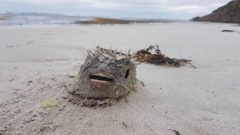 Pesce palla mummificato nella spiaggia di Bales Beach a Kangaroo Island