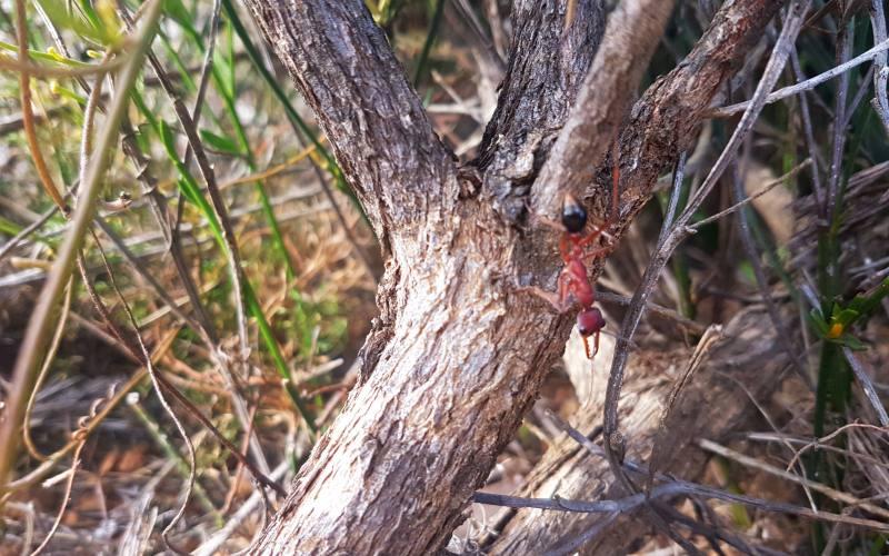 Formica Bulldog, un piccolo ma velenoso animale australiano