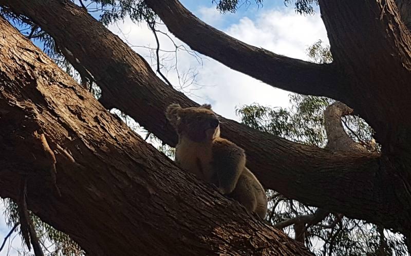 Koala incontrato durante il tragitto da Adelaide a Melbourne
