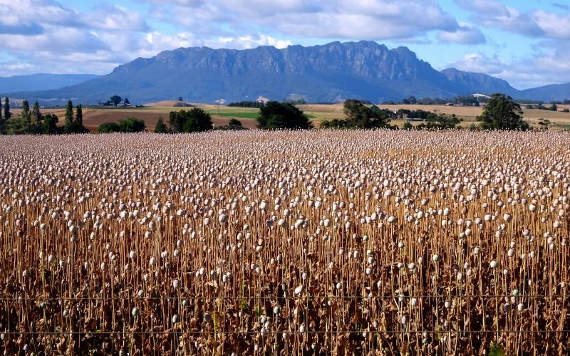 Piantagioni di papaveri da oppio nel Nord della Tasmania, in Australia