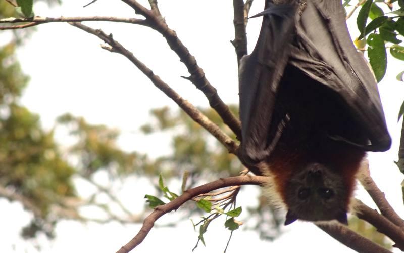 Pipistrello Volpe Volante (Flying Fox) incontrato a Geelong durante viaggio da Adelaide a Melbourne