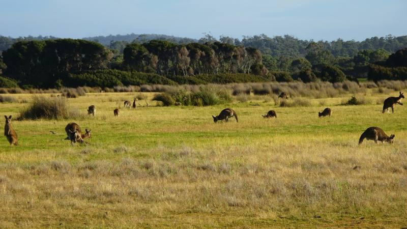 Gruppo di canguri nel verde del Parco Nazionale Narawntapu nel Nord della Tasmania