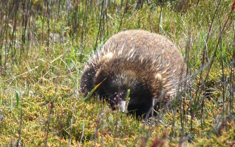 Avvistamento di un'echidna nel Parco Nazionale di Cradle Mountain in Tasmania