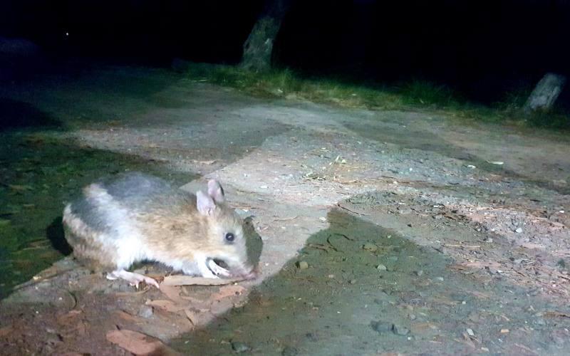 Bandicoot in libertà visto nel campeggio di Hobart in Tasmania