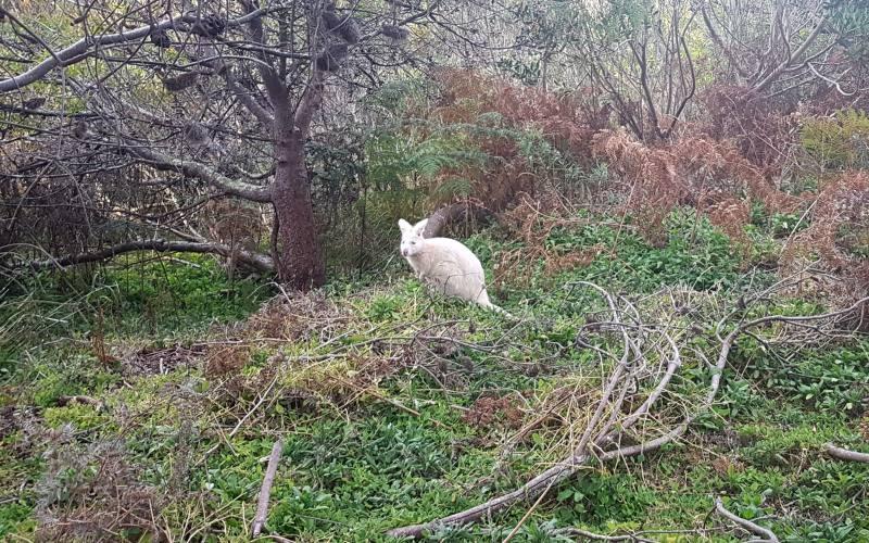 """Avvistamento del raro """"Wallaby Albino"""", esemplare di wallaby che si trova solo sull'isola di Bruny Island in Tasmania"""