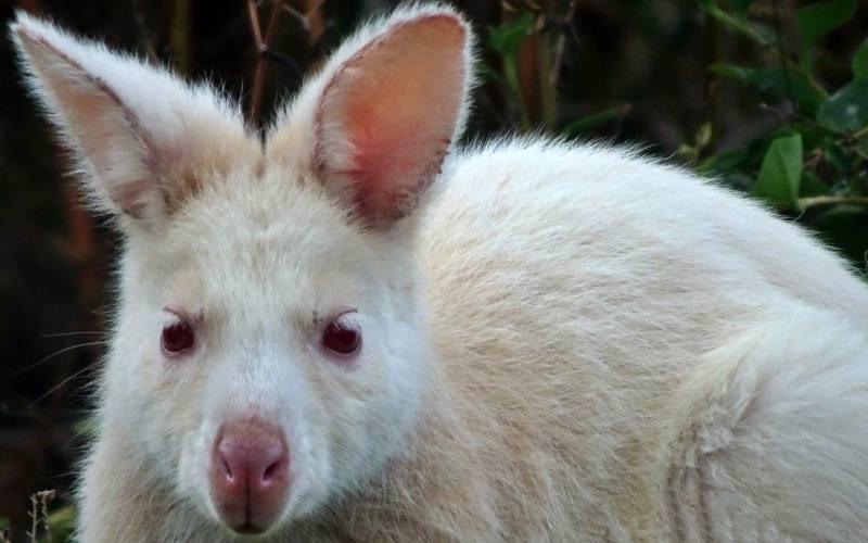 """Primo piano del raro """"Wallaby Albino"""", esemplare di wallaby che si trova solo sull'isola di Bruny Island in Tasmania, durante il trekking """"Fluted Cape"""""""