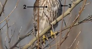 Cooper's Hawk Identification