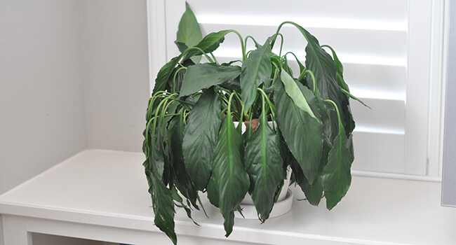 dode-plant-teveel-water Ze Houseplant on