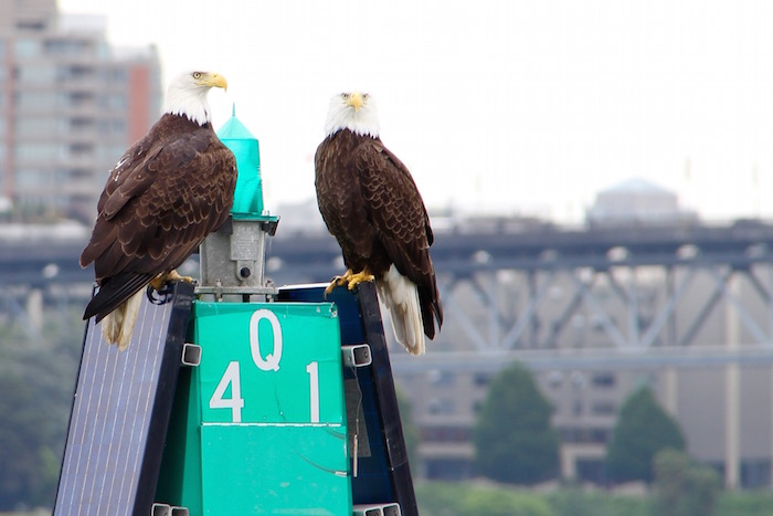 Bald Eagles that live within Vancouver!