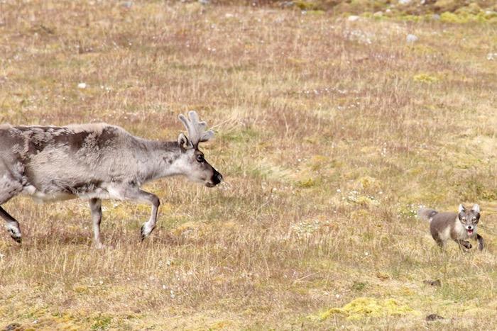 Reindeer chasing Arctic Fox Alkhornet Svalbard