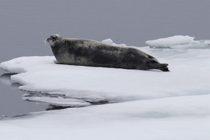 Bearded Seal Polar Sea Ice
