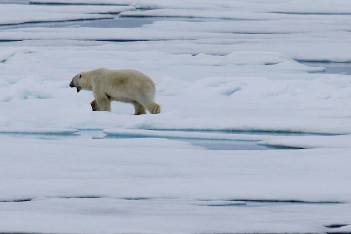 Polar Bear on Sea Ice near Svalbard