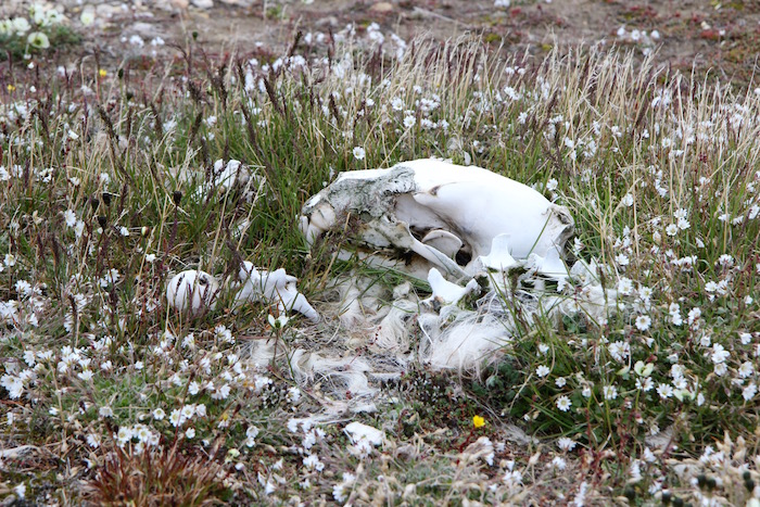 Plants growing around Polar Bear skeleton Svalbard