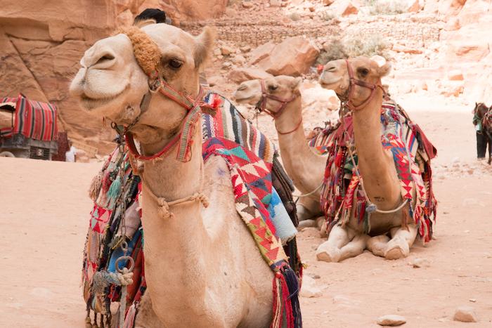 Camels at Petra Jordan