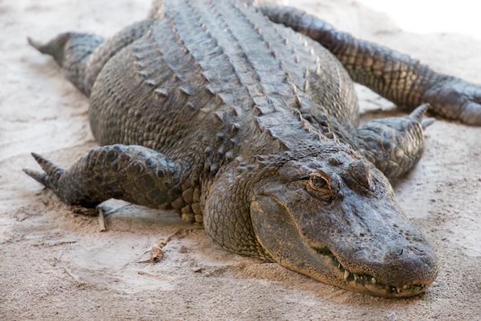 Alligator at Everglades Safari Park Florida