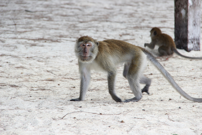Langkawi Monkeys