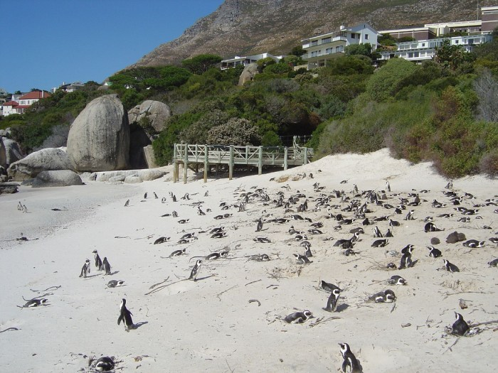 Penguins Of Boulders Beach